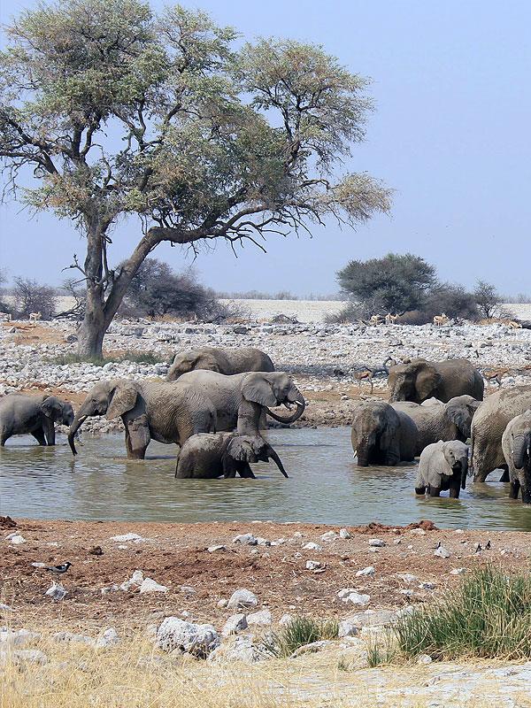 Elefanten Afrika